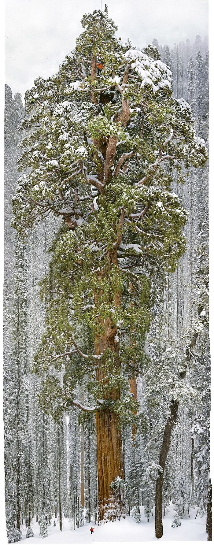 President tree, Giant Forest, Sequoia National Park, Visalia, California, United States