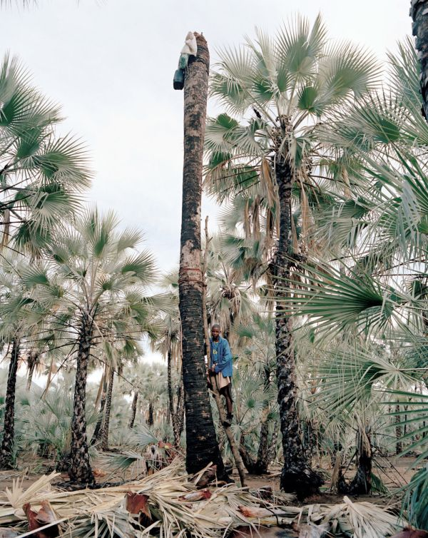 Palm wine toddy collectors at work, Democratic Republic of the Congo, Africa