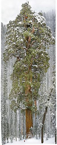 Trek.Today search results: President tree, Giant Forest, Sequoia National Park, Visalia, California, United States